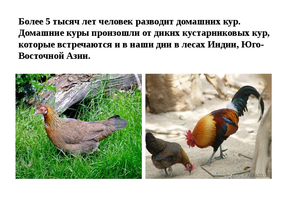 Более 5 тысяч лет человек разводит домашних кур. Домашние куры произошли от д...