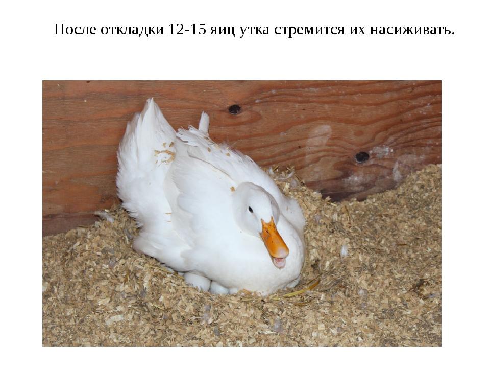 После откладки 12-15 яиц утка стремится их насиживать.