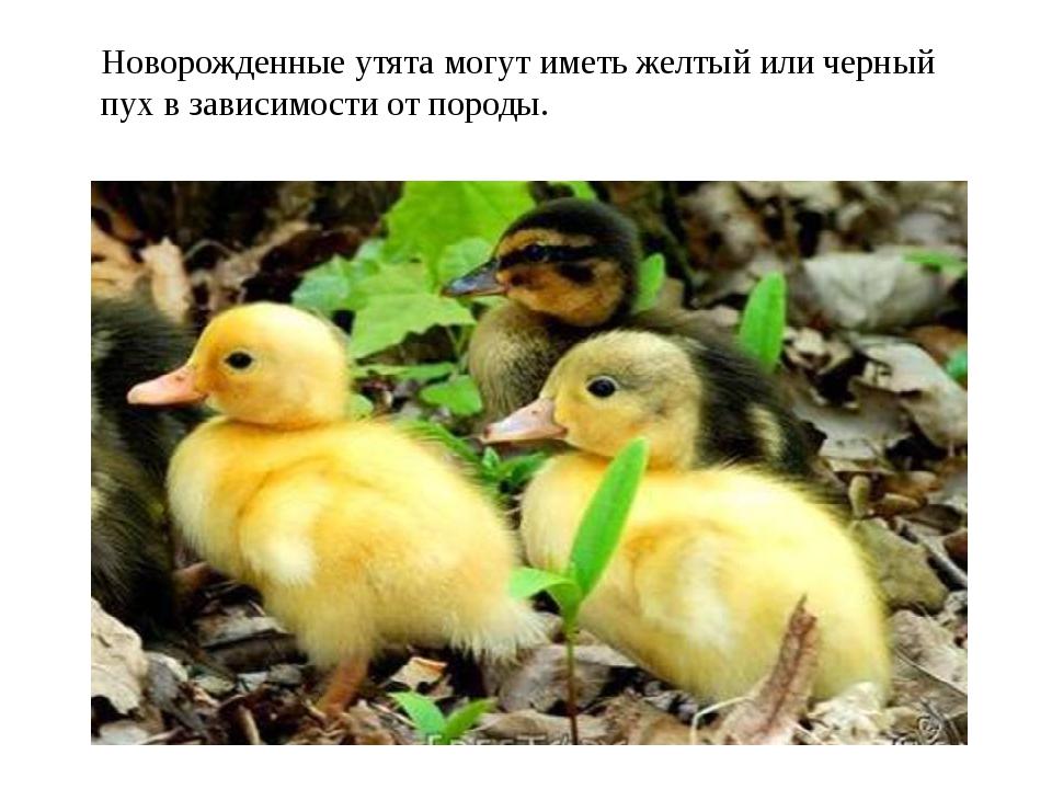Новорожденные утята могут иметь желтый или черный пух в зависимости от породы.