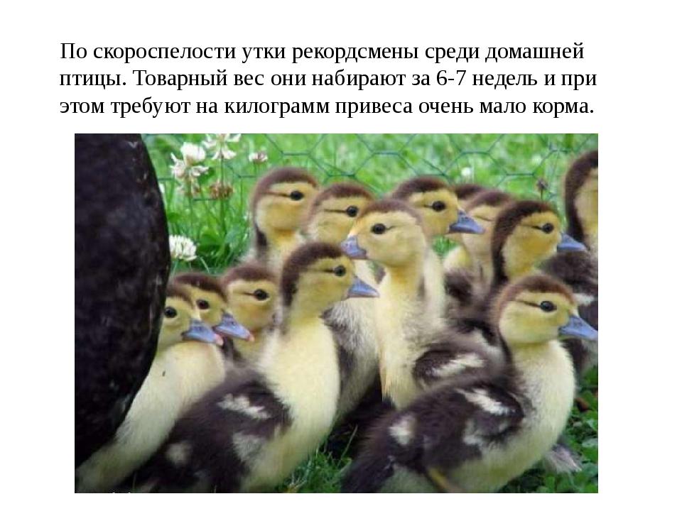 По скороспелости утки рекордсмены среди домашней птицы. Товарный вес они наби...