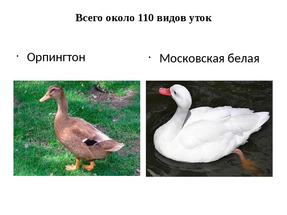Всего около 110 видов уток Орпингтон Московская белая