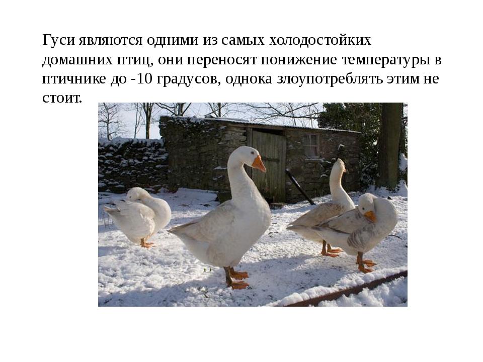 Гуси являются одними из самых холодостойких домашних птиц, они переносят пони...