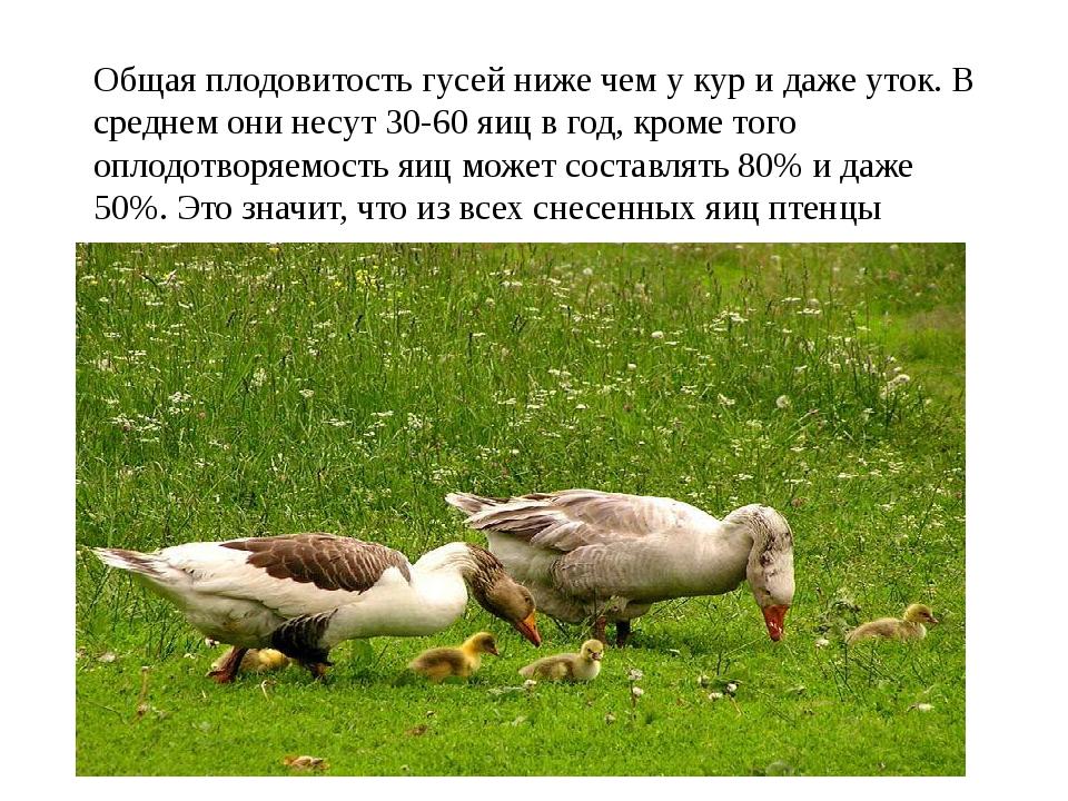 Общая плодовитость гусей ниже чем у кур и даже уток. В среднем они несут 30-6...