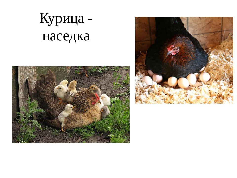 Курица - наседка