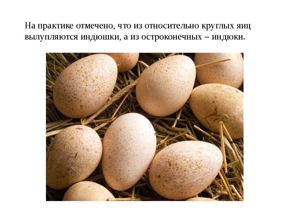 На практике отмечено, что из относительно круглых яиц вылупляются индюшки, а...