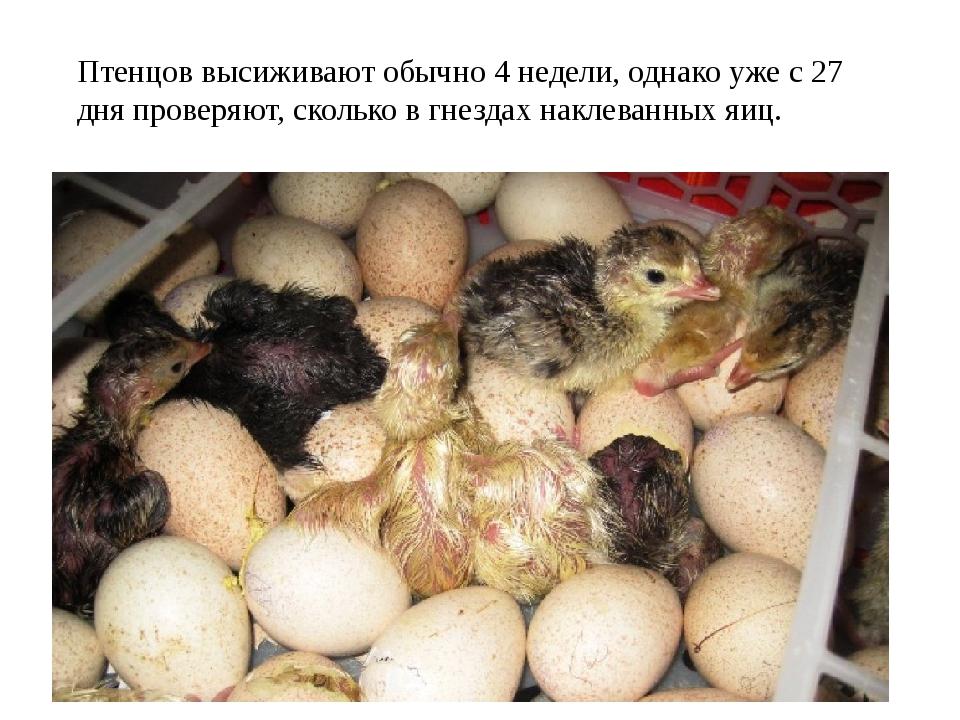Птенцов высиживают обычно 4 недели, однако уже с 27 дня проверяют, сколько в...