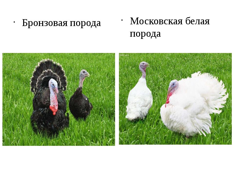 Бронзовая порода Московская белая порода