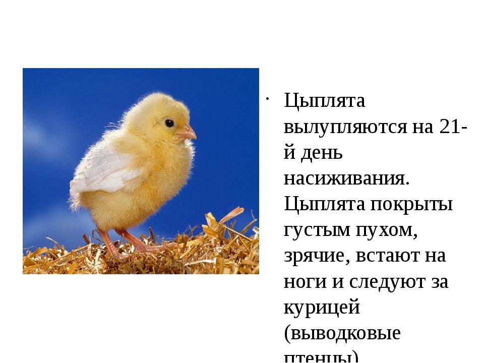 Цыплята вылупляются на 21-й день насиживания. Цыплята покрыты густым пухом,...