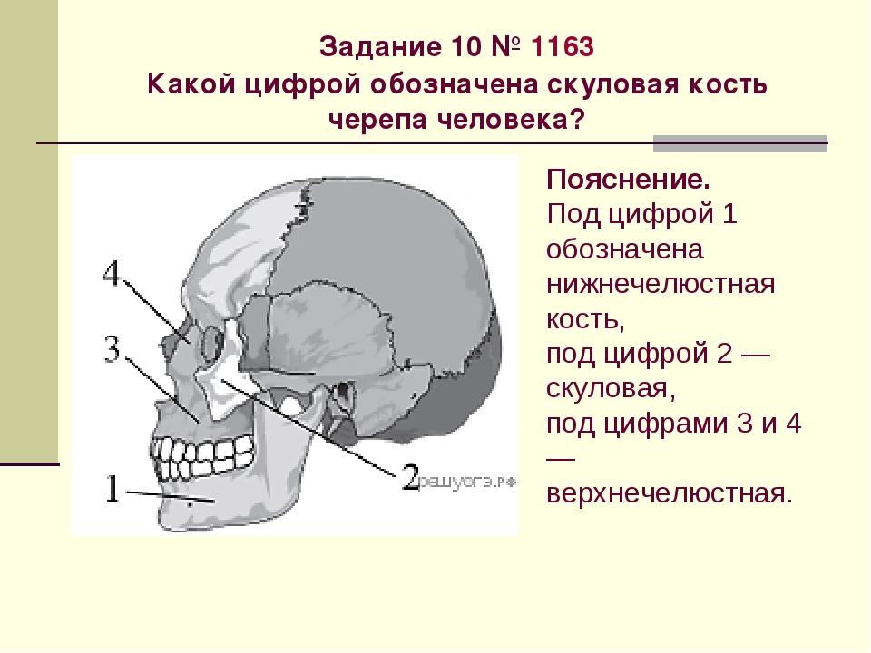 Задание 10№1163 Какой цифрой обозначена скуловая кость черепа человека? По...