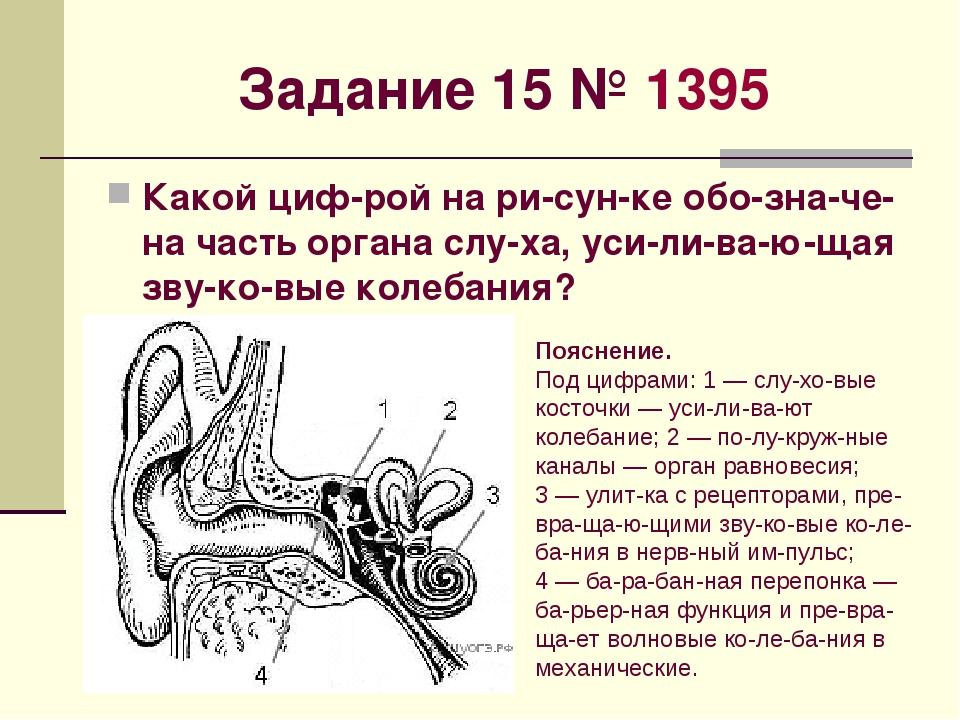 Задание 15№1395 Какой цифрой на рисунке обозначена часть органа слух...