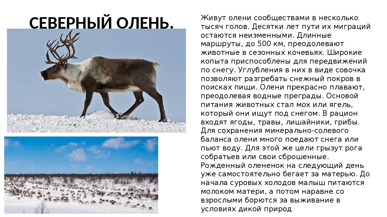 все об оленях фото описание видов композиции соответвует