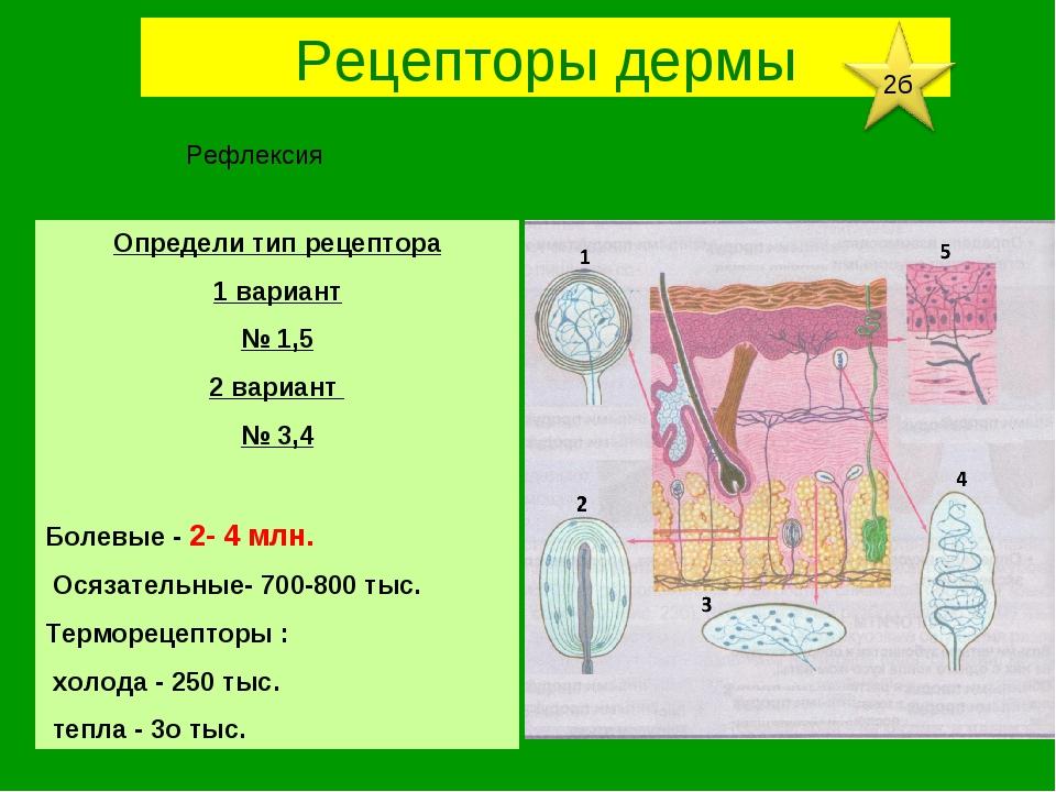 Определи тип рецептора 1 вариант № 1,5 2 вариант № 3,4 Болевые - 2- 4 млн. Ос...