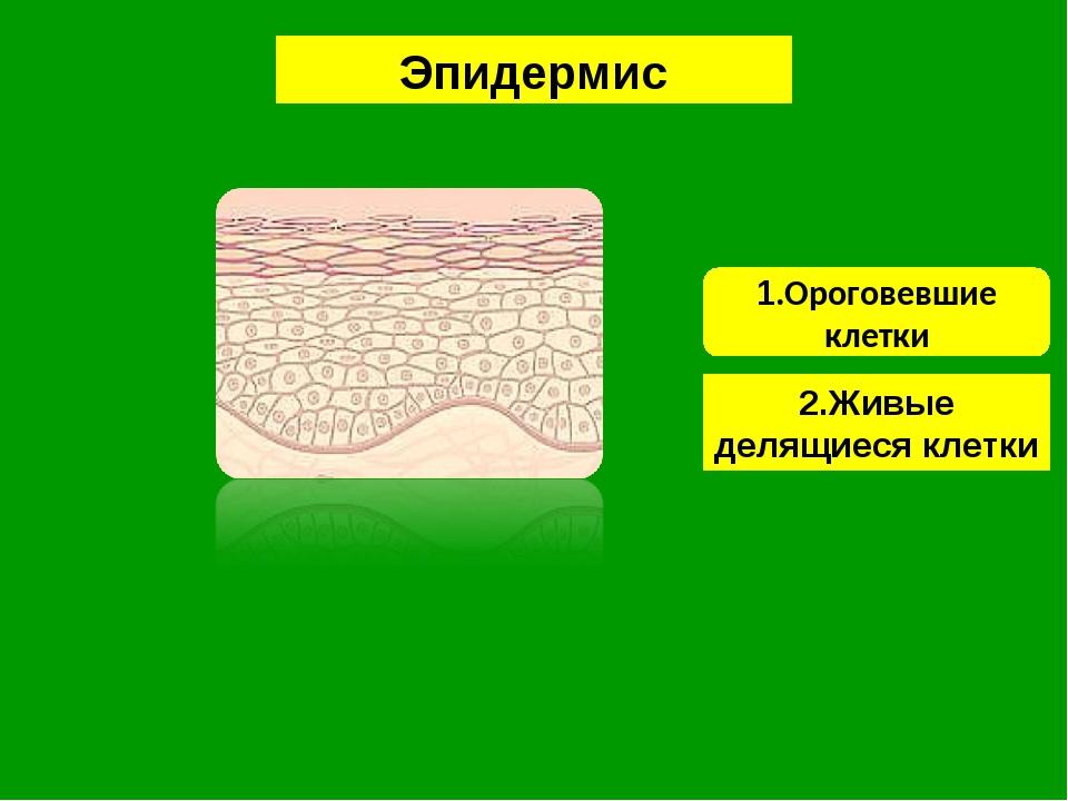 1.Ороговевшие клетки Эпидермис 2.Живые делящиеся клетки