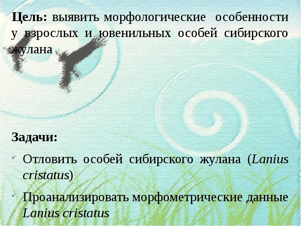 Цель: выявить морфологические особенности у взрослых и ювенильных особей сиби...