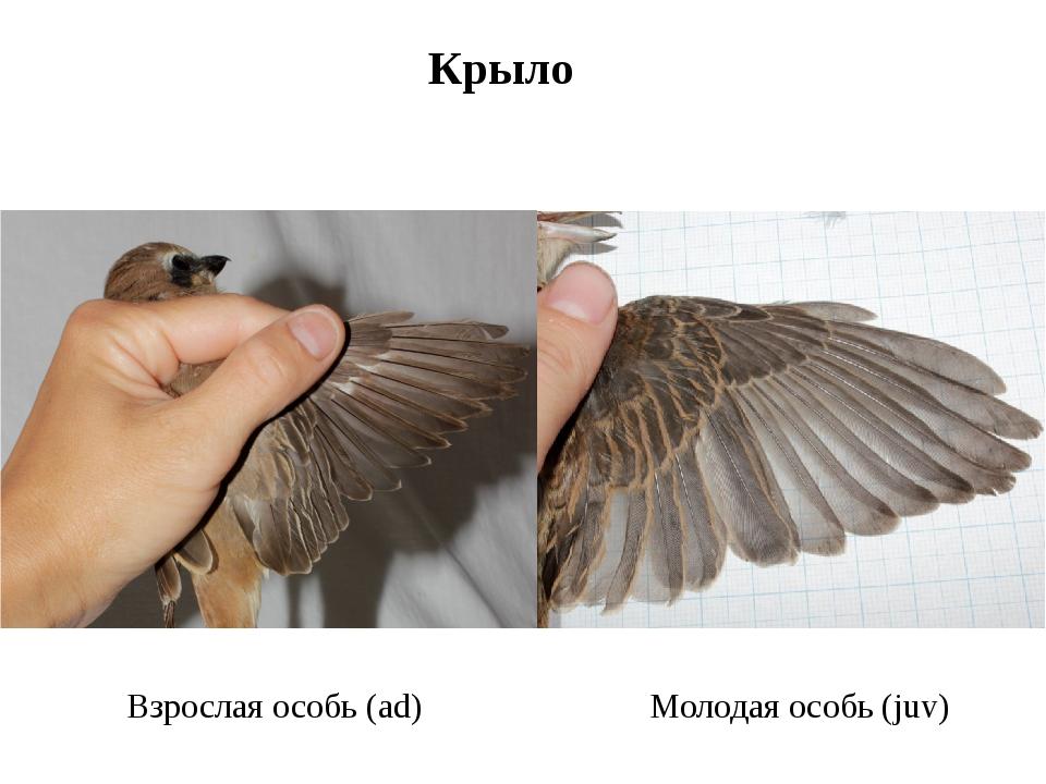 Крыло Взрослая особь (ad) Молодая особь (juv)