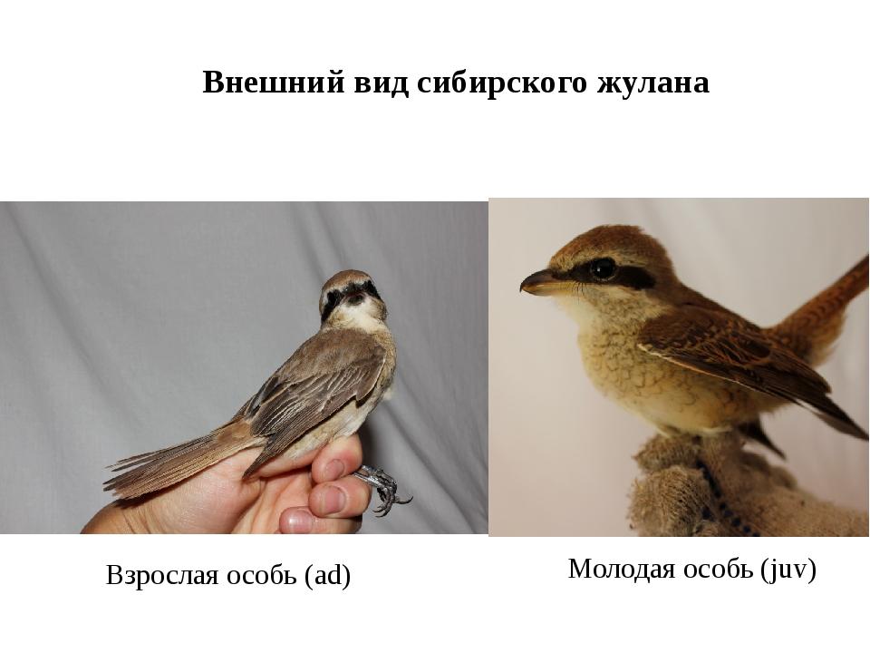 Внешний вид сибирского жулана Взрослая особь (ad) Молодая особь (juv)