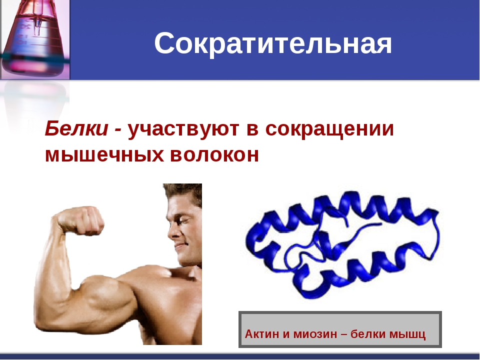 Сократительная Белки - участвуют в сокращении мышечных волокон Актин и миозин...