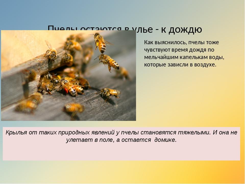 Пчелы остаются в улье - к дождю Как выяснилось, пчелы тоже чувствуют время до...