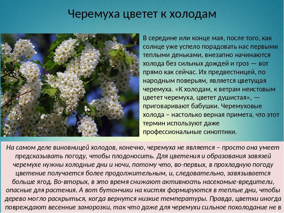 Черемуха цветет к холодам В середине или конце мая, после того, как солнце уж...