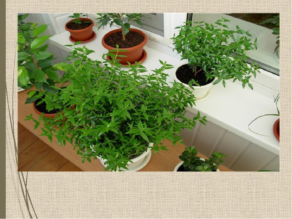 Сажать цветы, озеленять классные комнаты и школьные дворы.