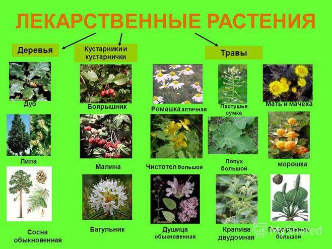 Названия и картинки лечебных растений