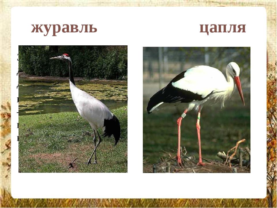 журавль цапля Это крупные, длинноногие и длинношеие птицы, их высота составля...