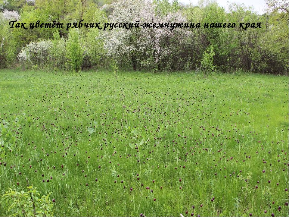Так цветёт рябчик русский-жемчужина нашего края