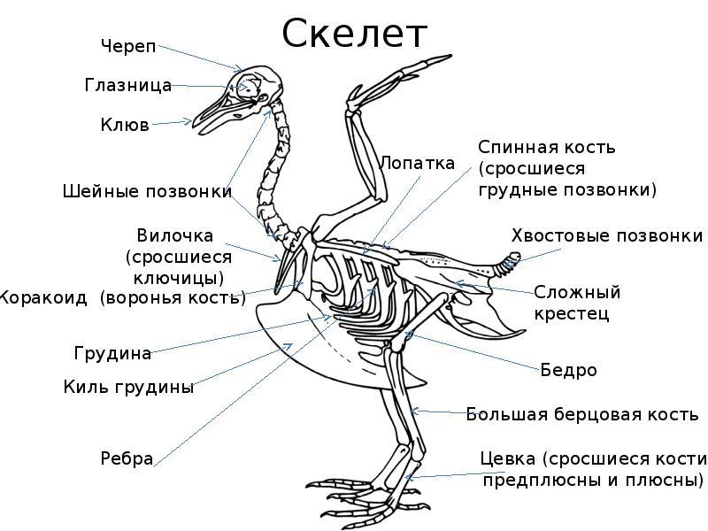 картинка внутреннего строения птицы универсальные
