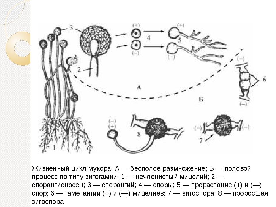 Жизненный цикл мукора Жизненный цикл мукора: А — бесполое размножение; Б — по...
