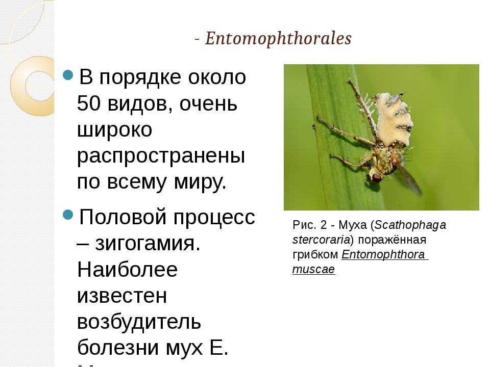 Порядок Энтомофторовые -Entomophthorales В порядке около 50 видов, очень ши...
