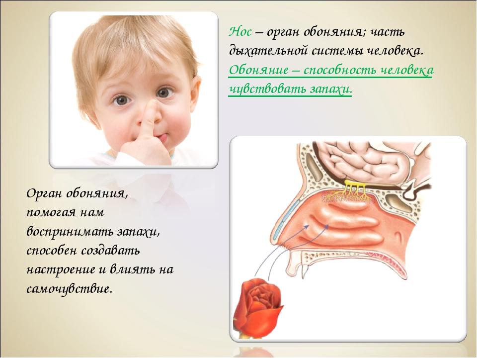 Нос – орган обоняния; часть дыхательной системы человека. Обоняние – способно...