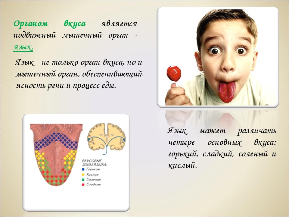 Органом вкуса является подвижный мышечный орган - язык. Язык может различать...