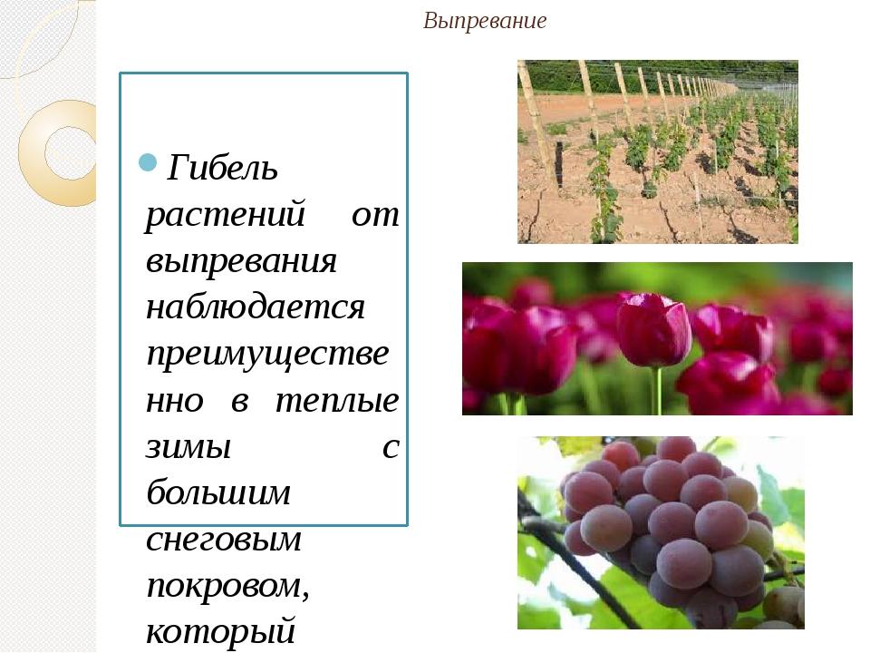 Выпревание Гибель растений от выпревания наблюдается преимущественно в теплые...