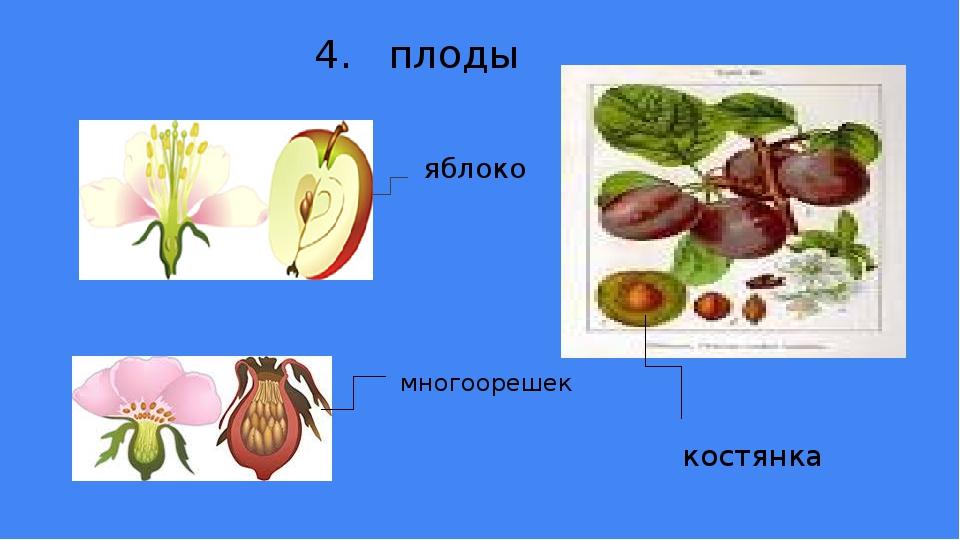 яблоко 4. плоды многоорешек костянка