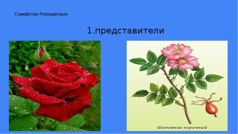 Семейство Розоцветные 1.представители