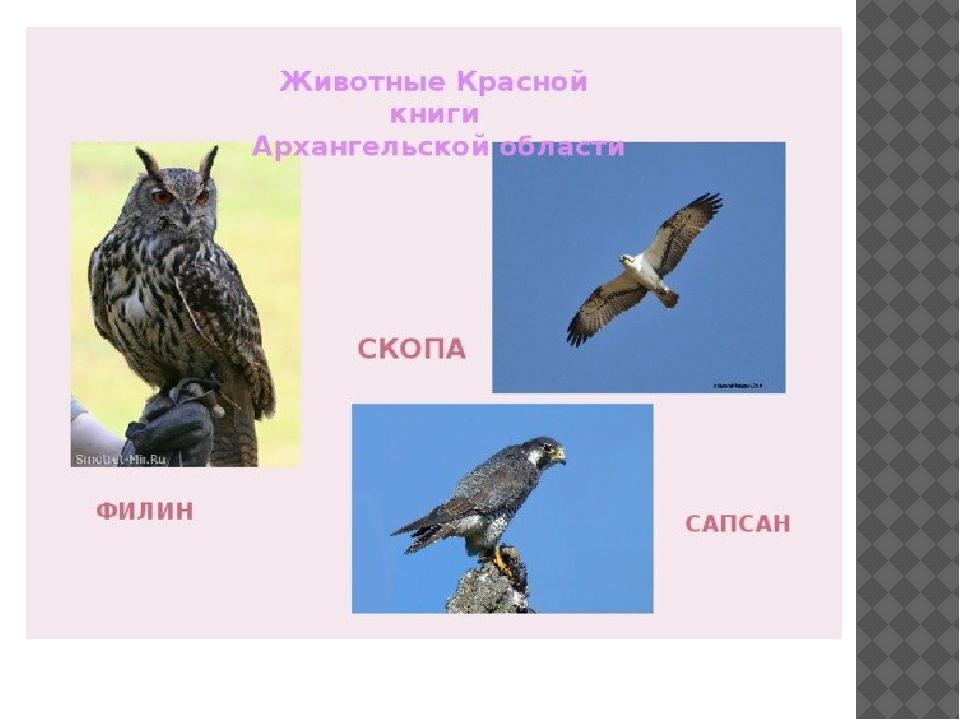 охраняемые птицы архангельской области
