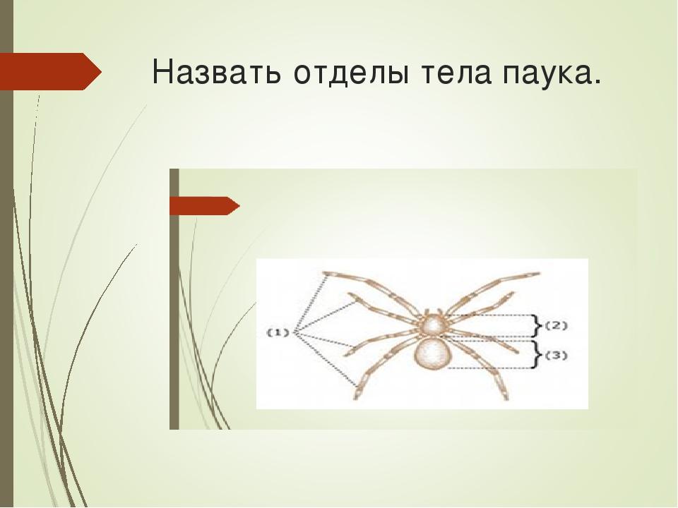 Назвать отделы тела паука.