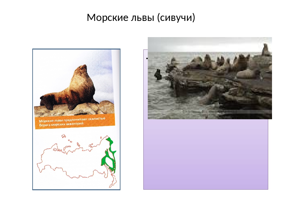 Морские львы (сивучи) и