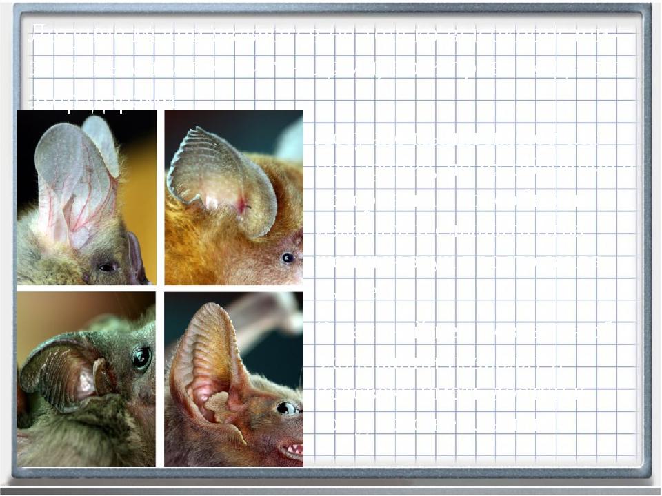 Летучие мыши имеют сла-бое зрение, но их обоняние и невероятная способность и...