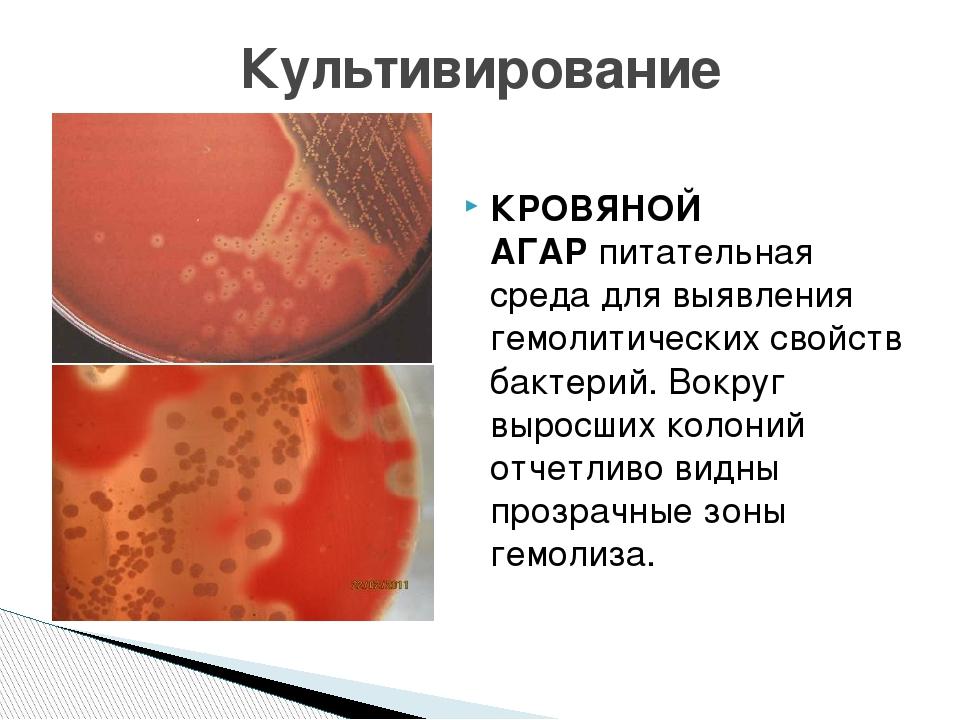 КРОВЯНОЙ АГАРпитательная среда для выявления гемолитических свойств бактерий...