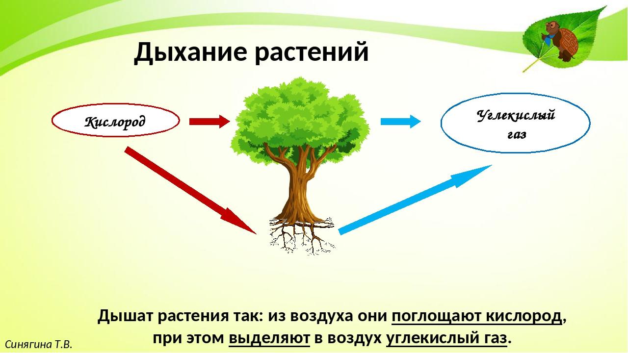 Синягина Т.В. Дыхание растений Дышат растения так: из воздуха они поглощают...