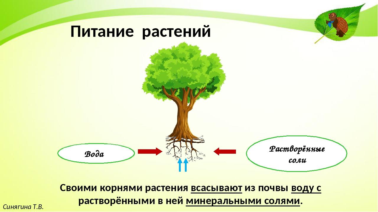 Синягина Т.В. Питание растений Своими корнями растения всасывают из почвы вод...