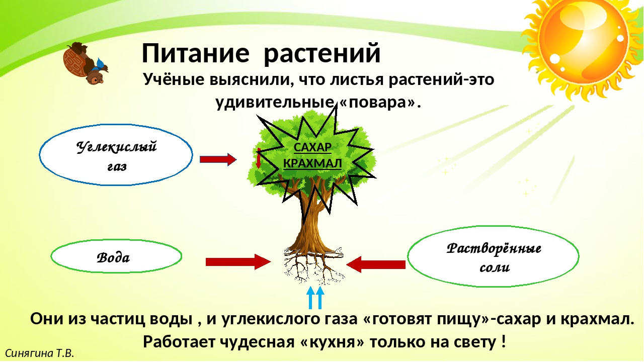 Синягина Т.В. Питание растений Учёные выяснили, что листья растений-это удив...