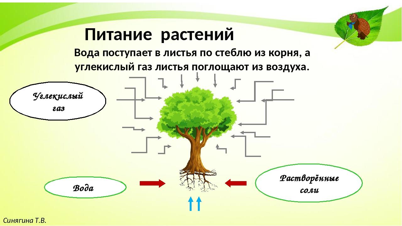 Синягина Т.В. Питание растений Вода поступает в листья по стеблю из корня, а...