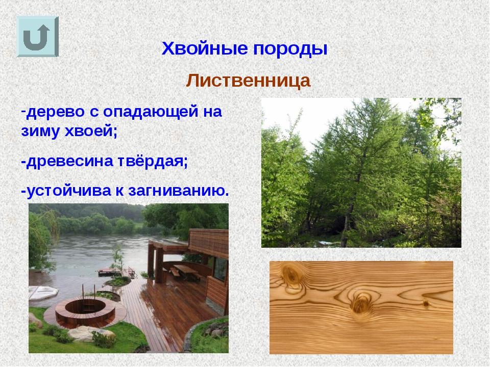 Хвойные породы Лиственница дерево с опадающей на зиму хвоей; -древесина твёрд...