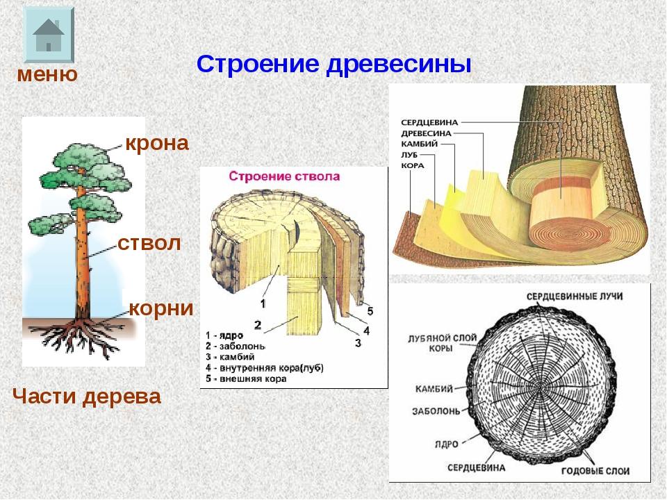 Строение древесины Части дерева крона ствол корни меню