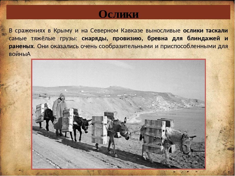 Ослики В сражениях в Крыму и на Северном Кавказе выносливые ослики таскали са...