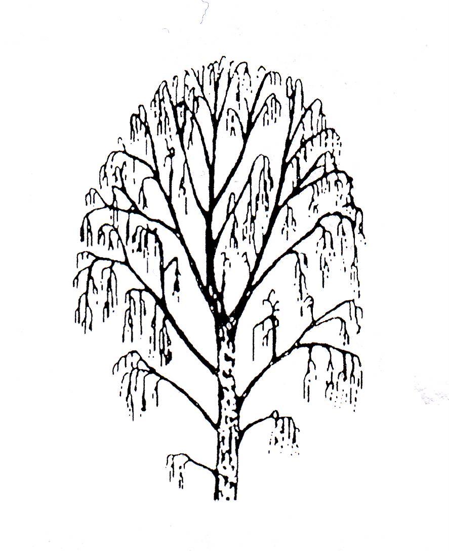 Береза без листьев картинка