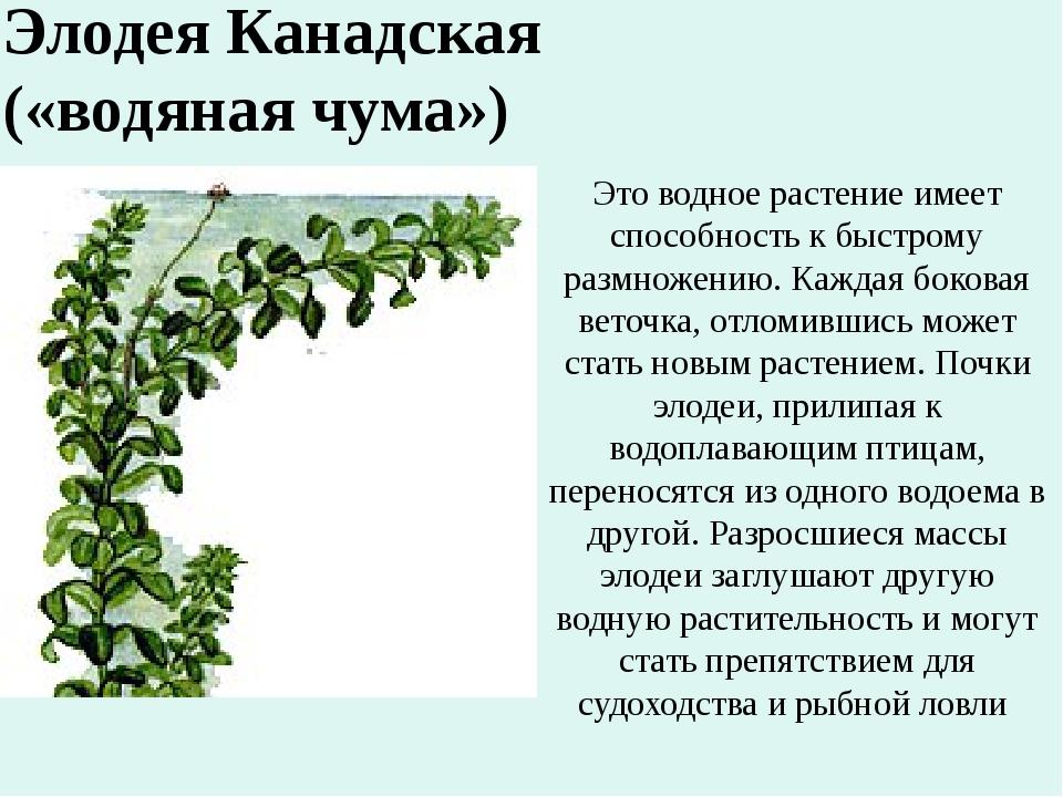 Это водное растение имеет способность к быстрому размножению. Каждая боковая...