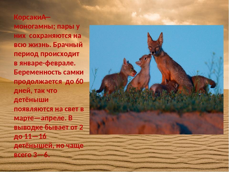 Корсаки— моногамны; пары у них сохраняются на всю жизнь. Брачный период прои...